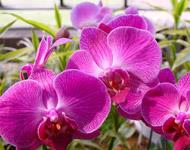 The Moth Orchid (Phalaenopsis)