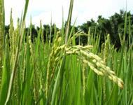 Lanyang Wunong Rice