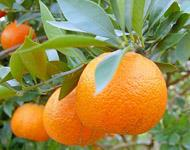 Tonggan Mandarin Orange