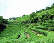 Wufong Tea
