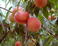 Tainong Sweet Peach