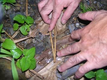 雌螢大多隱藏於草叢間,採集較不易