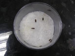 交配後之雌螢2-10日陸續開始產卵,每隻約產卵80-120粒