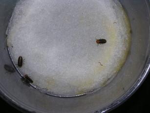 交配後雄螢1-2天即死亡,雌螢產卵約1-2天也死亡