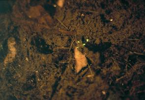 幼蟲尾部也會發光