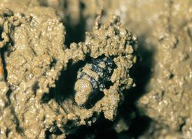 在鬆軟的泥土及石塊庇蔭底下開始作蛹室