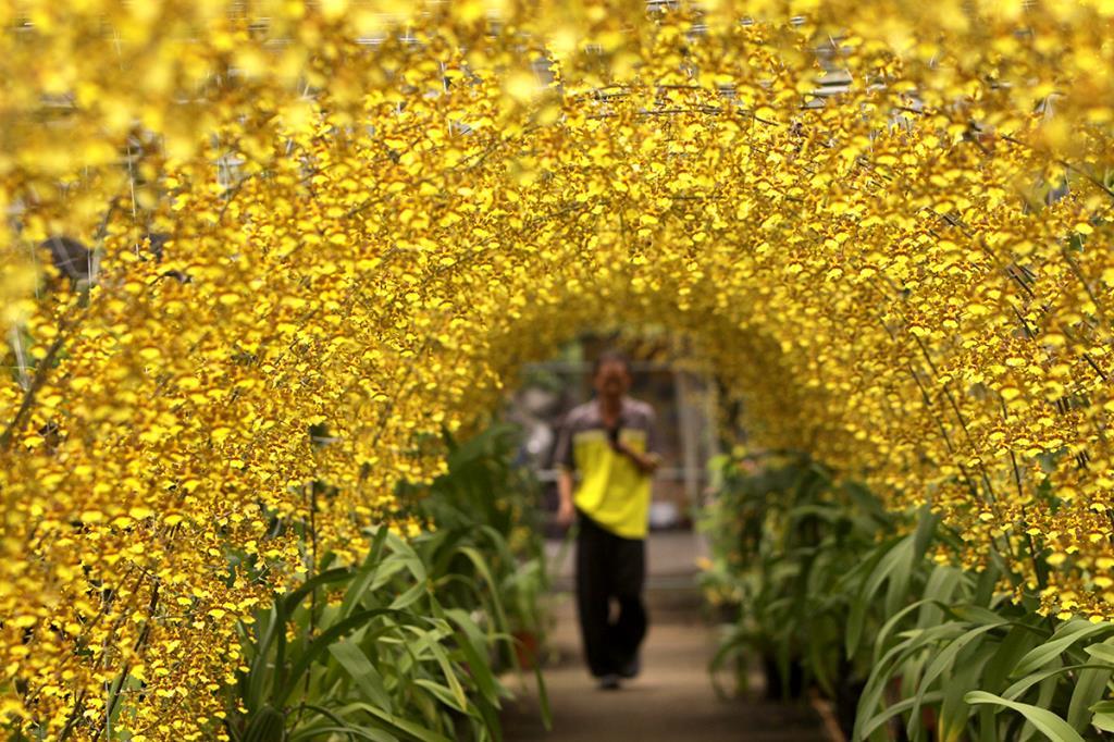 金雙牲園藝-金黃色文心蘭隧道