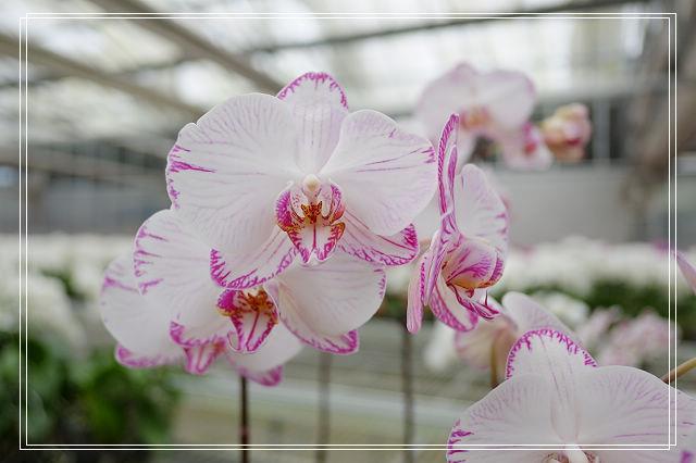 金車員山蘭花園-蘭花盆栽