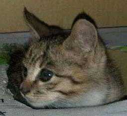 寵物協尋-虎斑混種貓-海苔