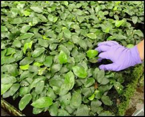 檢驗水草場水草害蟲採樣作業
