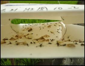 設置性費洛蒙陷阱捕捉水稻二化螟,監測害蟲數量及密度