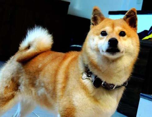 寵物協尋-柴犬-彩彩