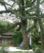 Old camphor tree