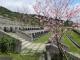 A區櫻花景緻
