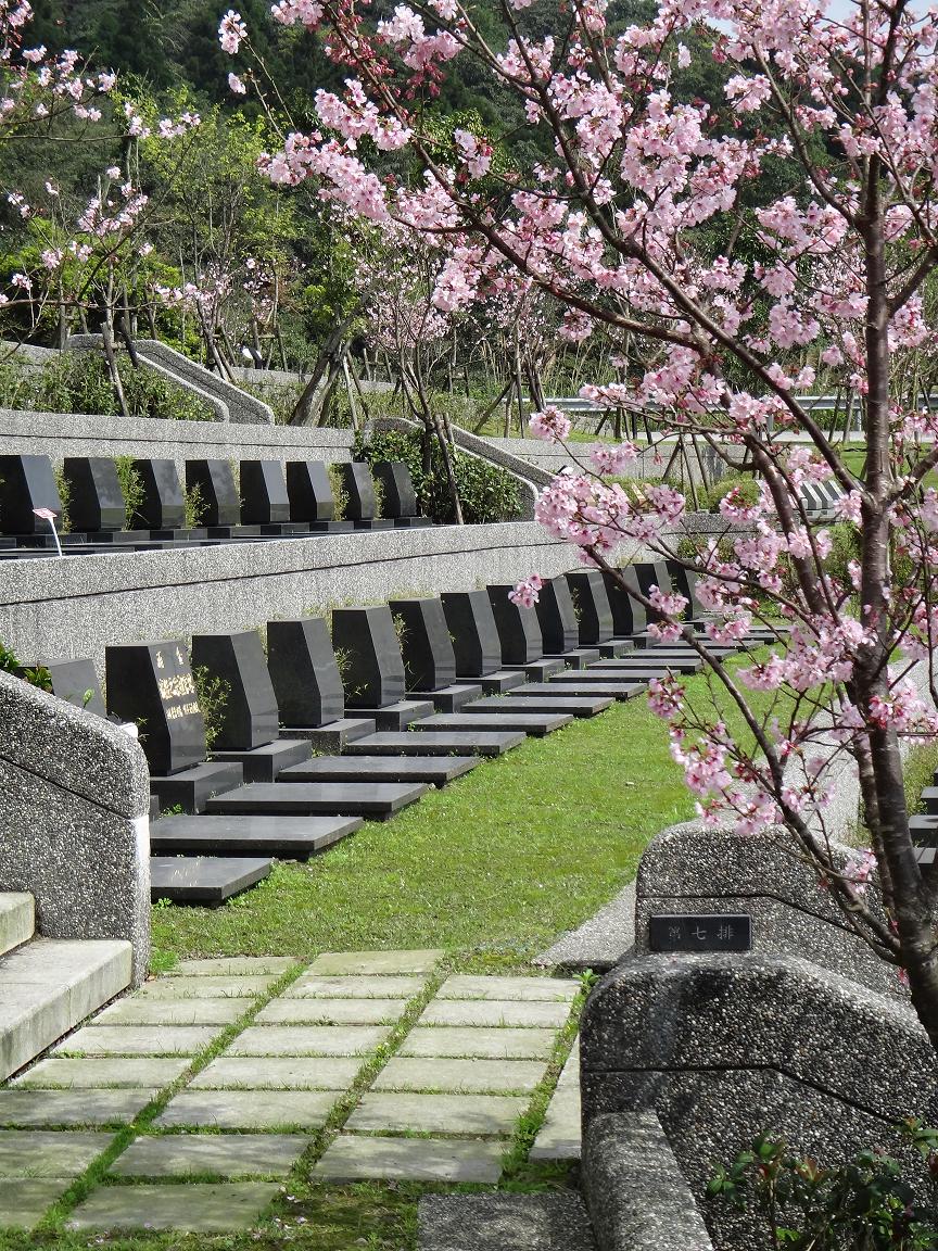 A區櫻花景致