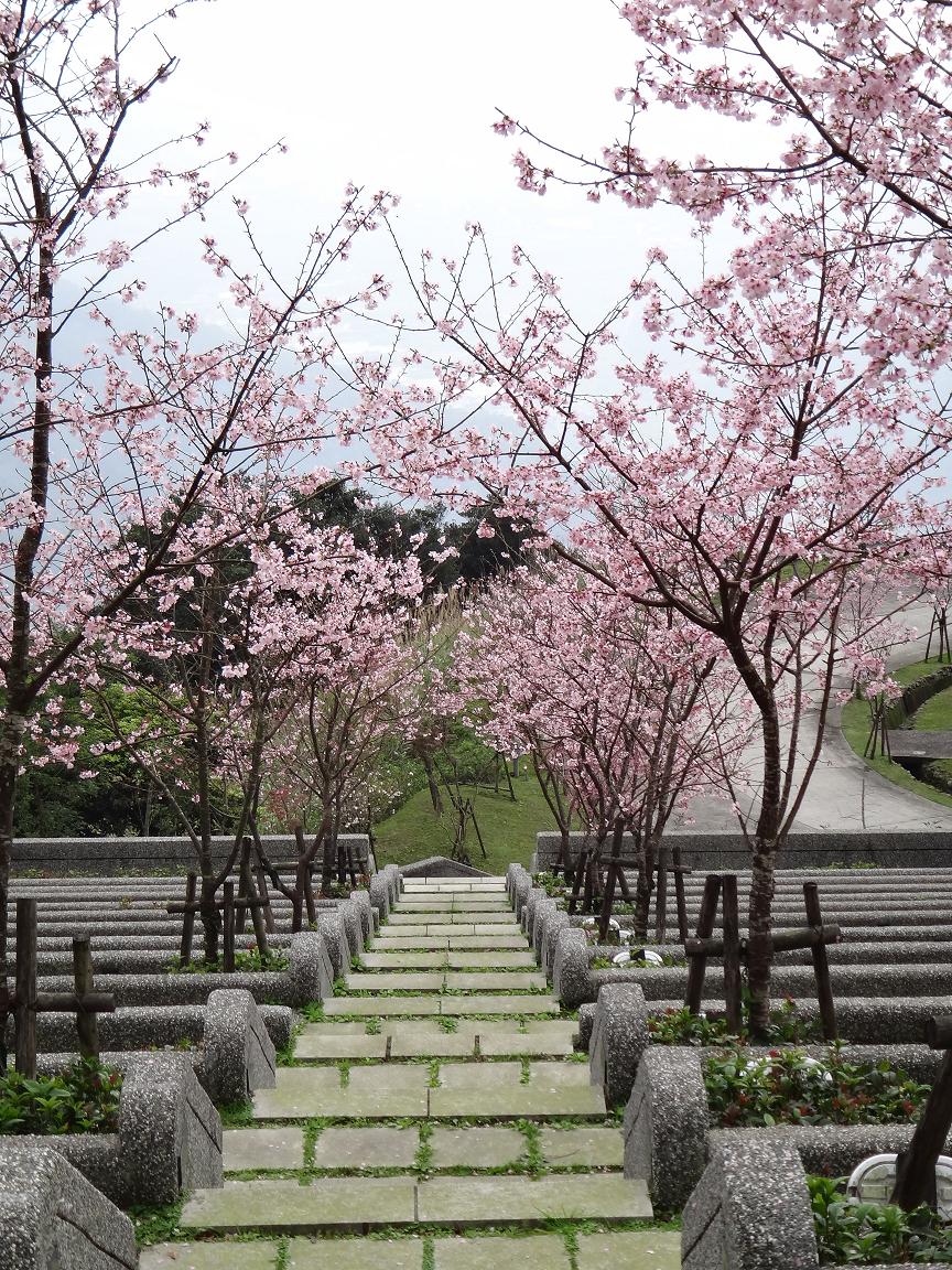 B區櫻花景致