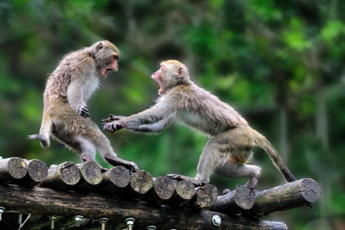 兩隻台灣獼猴在木架上玩耍