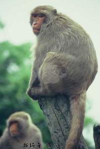 一隻台灣獼猴坐在樹幹末端凝視左方,後方還有一隻獼猴