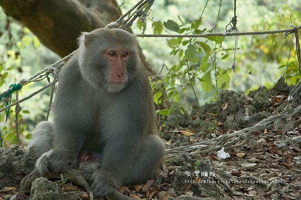 一隻台灣獼猴坐在地方凝視右方