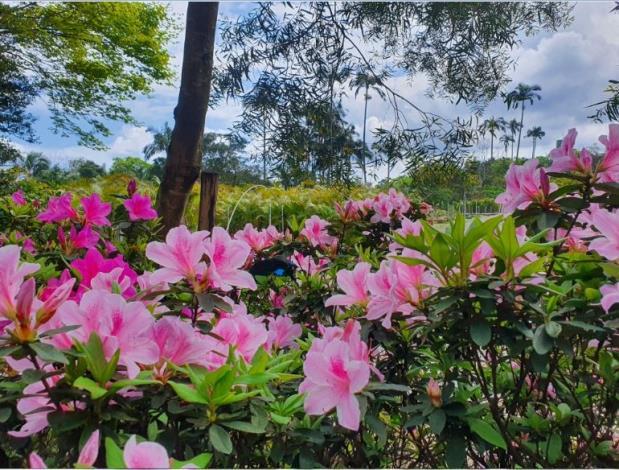 平戶杜鵑(粉紅色)