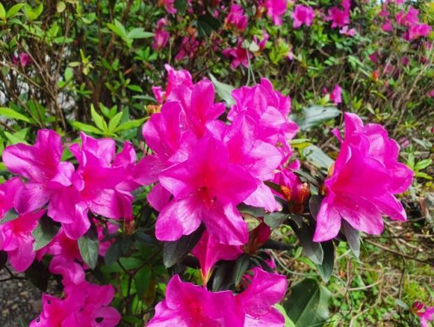 平戶杜鵑(紫色)