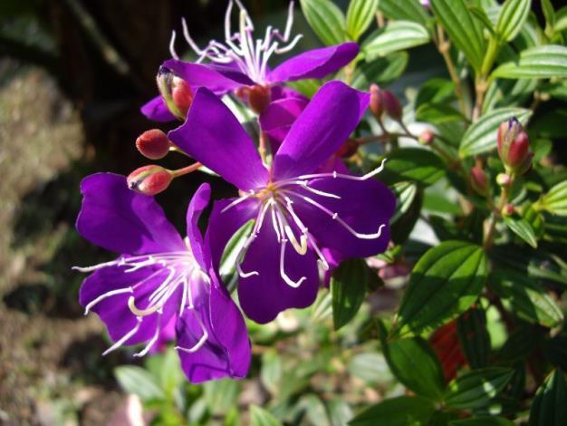 深紫色野牡丹